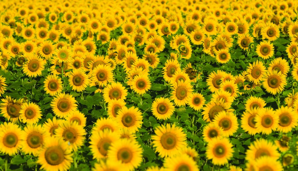 sunflower-main